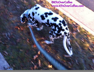 K9sOverCoffee | Walking Pebbles, The Deaf Dalmatian