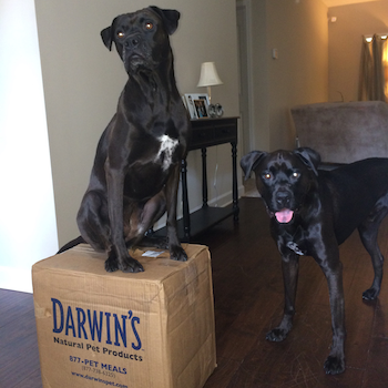 K9sOverCoffee | Missy & Buzz with their order of Darwin's Raw Food