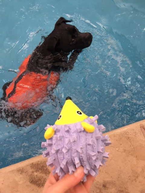 K9sOverCoffee | We Found A Natural & Durable Dog Toy That Floats - Missy Waiting In The Pool For Me To Throw The Toy