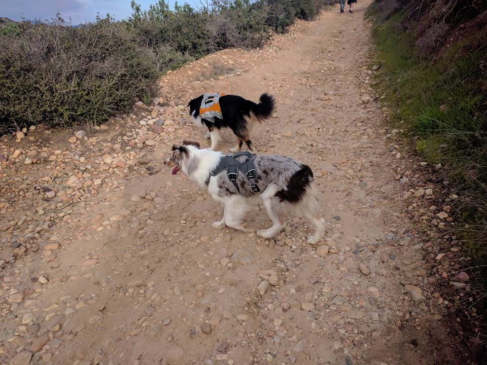 K9sOverCoffee | Dog-Friendly Things To Do In San Diego - Hiking At Los Peñasquitos Canyon Trail With Aussies Shade & Solea