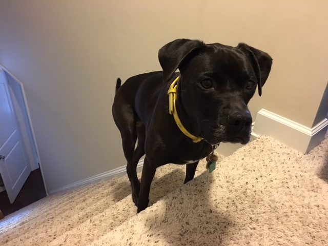 K9sOverCoffee   How To Exercise Your Active Dog When You're Sick- Missy Ready For Stair Running Action