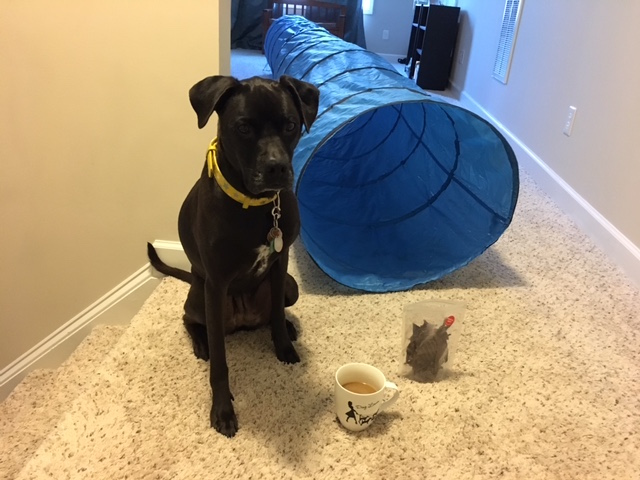K9sOverCoffee | How To Exercise Your Active Dog When You're Sick - Missy Sitting In Anticipation Next To Her Treats And Tunnel
