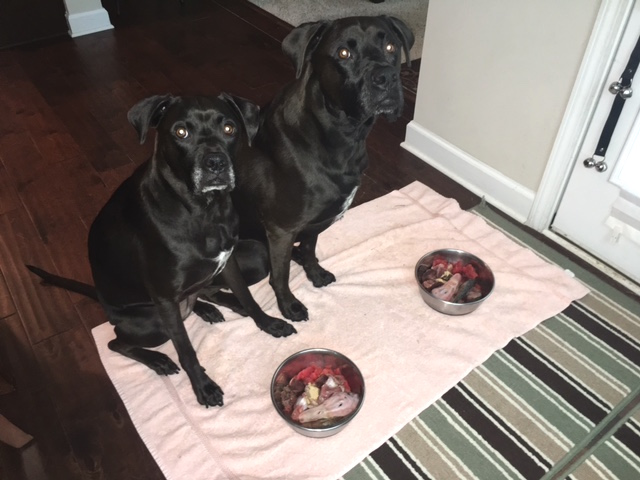 K9sOverCoffee | Delicious Watermelon For The Pups & For Myself - The Pups Waiting Patiently Before Eating