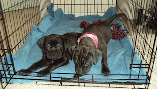 K9sOverCoffee   How to keep your dog from pooping inside the house:Puppies Missy and Buzz in their crate