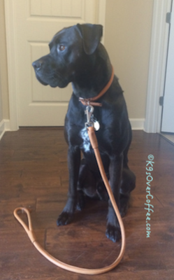 Buzz_with_CoLLar_leather_collar_leash