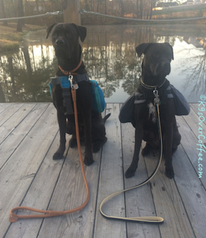 Puppies_with_CoLLar_Leather_Collars_Leashes_on_walk