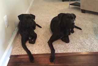 Puppies_on_carpet_hardwood_threshold
