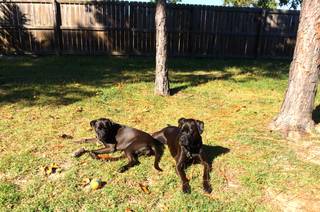 rsz_thanksgiving_with_two_black_boxerdogs