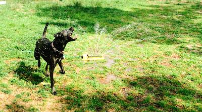 Missy cooling off in our sprinkler