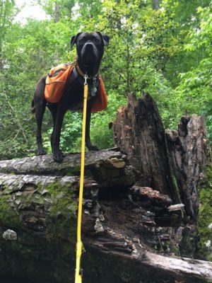 Missy On a Log During A Hike With COLLAR's Glamour Adjustable Leather Leash, Hand-Held