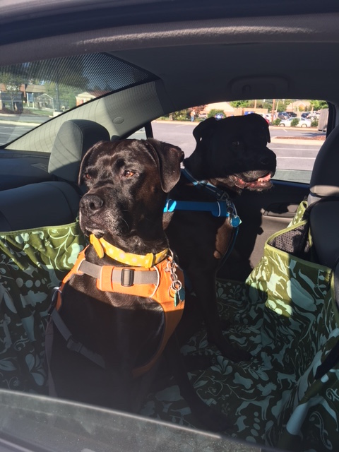 K9sOverCoffee | We Successfully Broke In Our New Car Hammock From Molly Mutt!