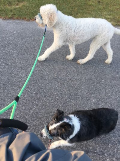 K9sOverCoffee   Walking 2 Client Dogs On A Head Collar