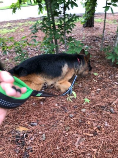 K9sOverCoffee   Walking GSD Stanley On Mighty Paw's Dual Handle Leash